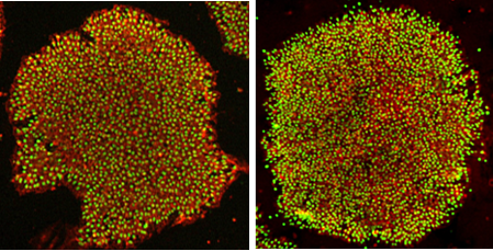 RPChiPSSK009 Cells were cultured in NutriStem hPSC XF Medium on iMatrix-511 and stained for Oct-4 (left) or Nanog (Right) and DAPI.-1
