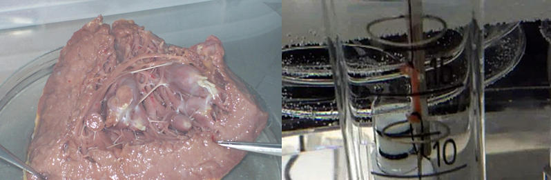 Ventricular-trabeculae-and-organ-bath